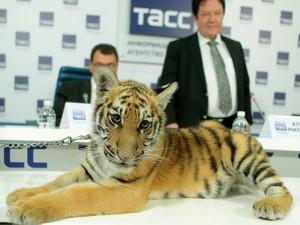 tigrul de amur