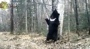 urs dansator